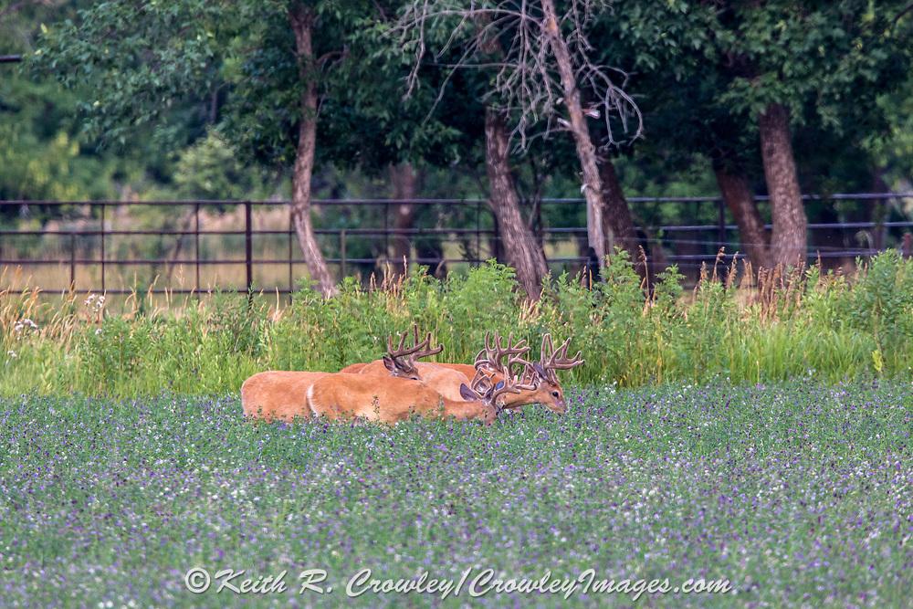 A bachelor herd of mature whitetail bucks graze in an alfalfa field