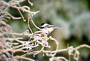 Chickadee on frozen branch