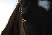 Portrait of a black horse on a ranch in Victor, Idaho.