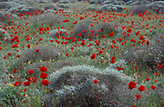 Wild Flower Field, Meadow, with white flowers and red poppies
