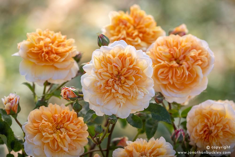 Rosa 'Port Sunlight' syn. Auslofty