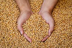 Agricultor segura grãos de soja da sua produção. FOTO: Jefferson Bernardes/Preview.com