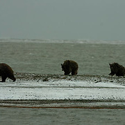 Grizzly Bear (Ursus arctos horribilis ) Mother and cubs come in from the Arctic National Wildlife Refuge to the coast of the Beaufort Sea, Alaska.