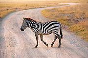 Zebra casually crossing road in the Ngorongoro Crater, Tanzania