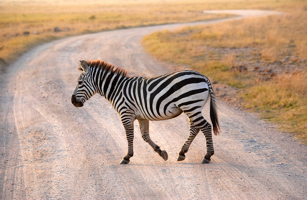 Zebra casually crossing road in the Ngorongoro Crater, Tanzania