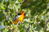 Bullock's Oriole (Icterus bullockii) A colorful 8.5 inch bird.  The male has a orange face;  black eyeline;  and a large white wing patch.  Likes deciduous trees near openings, such as parks and gardens,  Colorado.