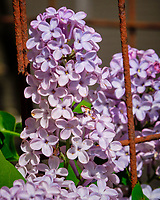 Lilac flowers.  Image taken with a Fuji X-H1 camera and 200 mm f/2 lens + 1.4x teleconverter (ISO 500, 280 mm, f/16, 1/420 sec)