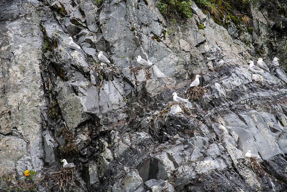 Black-legged Kittiwakes on nest