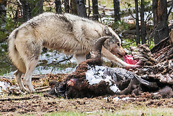 A grey Yellowsone wolf dines on a bison carcass that had recently melted from the winter snow.