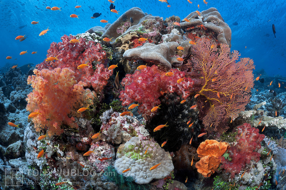 A lush, colourful coral formation with soft and hard coral, sea fans and a school of bright-orange fairy basslets at Carl's Ultimate dive site in the Eastern Fields of Papua New Guinea