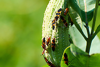 Large Milkweed Bugs on a Milkweed Seedpod. Summer Nature in New Jersey. Image taken with a Nikon 1 V1 +  FT1 + 70-30 mm VR lens (ISO 100, 180 mm, f/5, 1/400 sec) and monopod. [FOV Equivalent to ~ 490 mm on a 35 mm image sensor]..