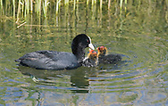 Coot Fulica atra L 36-38cm. Robust waterbird, often found with Moorhen. Has lobed toes. Feeds by upending, making shallow dives or grazing waterside vegetation. Gregarious outside breeding season. Sexes are similar. Adult has blackish plumage, darkest on head and neck. Note white bill and frontal shield on head, and beady red eye. Legs are pale yellowish. In flight, shows white trailing edge on otherwise dark, rounded wings. Juvenile has dark greyish brown upperparts and white on throat and front of neck. Voice Utters a loud kwoot call. Status Common resident, found on range of freshwater wetland habitats; numbers boosted in winter by influx of migrants.