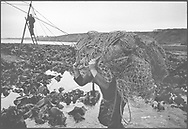 Salmon netter Ian Falconer carries netting across the foreshore at low tide during construction of the fly net on the rocks at Boddin, Angus.<br /> Ref. Catching the Tide 28/00/14 (6th May 2000)<br /> <br /> The once-thriving Scottish salmon netting industry fell into decline in the 1970s and 1980s when the numbers of fish caught reduced due to environmental and economic reasons. In 2016, a three-year ban was imposed by the Scottish Government on the advice of scientists to try to boost dwindling stocks which anglers and conservationists blamed on netsmen.