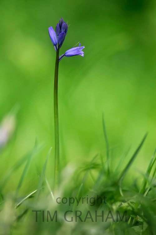 Bluebell growing, England