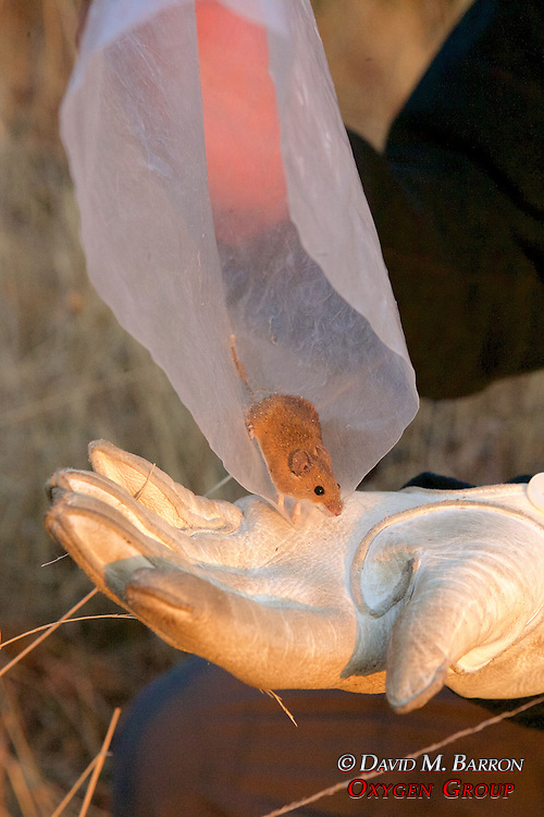 African Pygmy Deer Mouse