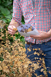 Collecting seed of Smyrnium perfoliatum into a paper bag