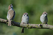 Three tree sparrows, Passer montanus, perched on lichen covered branch in Garden, Lancashire, England, UK