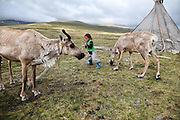 Stunning images reindeer herders of Mongolia<br /> <br /> Tsaatan people are reindeer herders and live in northern Khövsgöl Aimag of Mongolia. Originally from across the border in what is now Tuva Republic of Russia,the Tsaatan are one of the last groups of nomadic reindeer herders in the world. They survived for thousands of years inhabiting the remotest Ulaan taïga, moving between 5 and 10 times a year. <br /> The reindeer and the Tsaatan people are dependent on one another. Some Tsaatan say that if the reindeer disappear, so too will their culture. The Tsaatan depend on the reindeer for almost, if not all, of their basic needs:  their reindeers provide them with milk, cheese, meat, and transportation. They sew their clothes with reindeer hair, reindeer dung fuels their stoves and antlers are used to make tools. They do not use their animals for meat. This makes their group unique among reindeer-herding communities. As the reindeer populations shrink, only about 40 families continue the tradition today. Their existence is threatened by the dwindling number of their domesticated reindeer. Many have swapped their nomadic life for urban areas. <br /> <br /> Unique among reindeer-herding communities, the Tsaatan raise their animals almost exclusively for milk, with reindeer milk, yoghurt and cheese being the staples of their diet. Only a few reindeer are slaughtered during the year for supplementary meat, and also for the pelts they use to make thick winter coats. Almost all parts of the reindeer are utilised, and along with their wide deels (traditional Mongolian overcoats), the Tsaatan wear strong, warm boots fashioned from the hides and sinew of their reindeer. During the summer months, the reindeer's antlers are cut off, and since 1975, the Tsaatan have supplied some of these to China, where they are a desirable ingredient for traditional Chinese medicine. Tsaatan's reindeer lie at the heart of their sense of community. The reindeer are domesticated, and in many w