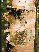 Tree bark peals in different shades of white, green and orange in Superior National Forest, Minnesota, USA.