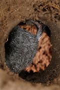 [captive] European Mole (Talpa europaea) in its subterranean burrow. Kiel, Germany | Maulwurf (Talpa europaea) in seinem unterirdischen Gang. Er ist vorwärts und rückwärts fast gleichschnell unterwegs, dabei hilft ihm sein Schwanz als Abstandhalter und Orientierung. Kiel, Deutschland