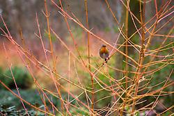 Robin on the coloured winter stems of Cornus sanguinea 'Midwinter Fire' in the Winter Garden at Dunham Massey