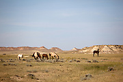 Horses grazing in the Terry Badlands, Montana.