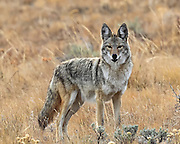 Coyote in habitat