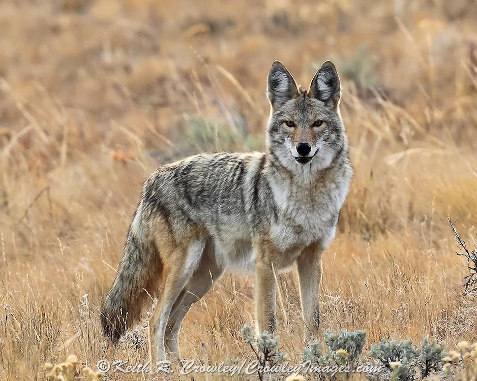 Coyote in habitat