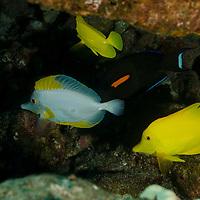First Cathedrals, Lanai Hawaii, Albino Yellow Tang