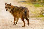 Golden Jackal (Canis aureus), also called the Asiatic, Oriental or Common Jackal. Photographed in Israel