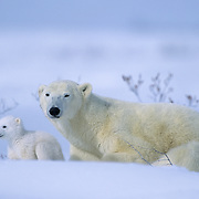 Polar Bear (Ursus maritimus) mother with a very young cub just leaving their winter den. Churchill, Manitoba, Canada