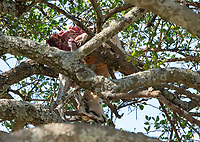Remains of a Thomson's Gazelle, Eudorcas thomsonii, left in the branches of a tree by an African Leopard, Panthera pardus, in Maasai Mara National Reserve, Kenya