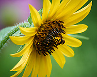 Hoverfly on a Sunflower. Image taken with a Nikon 1 V3 camera and 70-300 VR lens.