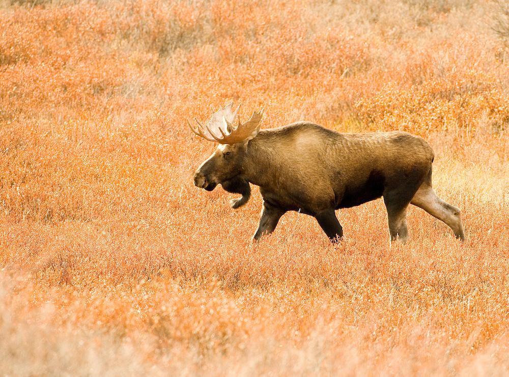 Alaska. Bull moose (Alces alces) in sunli autumn grasses along the Anchorage hillside.