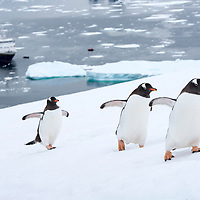 Three gentoo penguins walk in a row up a snow covered hill with the National Geographic Explorer in the background on Danco Island in Antarctica.