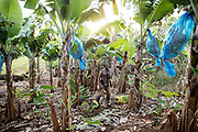 More Telemaque, 60 years, a farmer in his banaba plantation