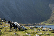 Wild Carneddau Ponies graze in the mountains surrounding  Llyn Idwal in the Cwm Idwal National Nature Reserve on 17th September 2020 in Pont Pen-y-benglog, Snowdonia, Wales, United Kingdom.