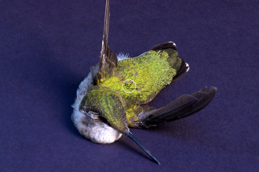 ruby throated hummingbird front