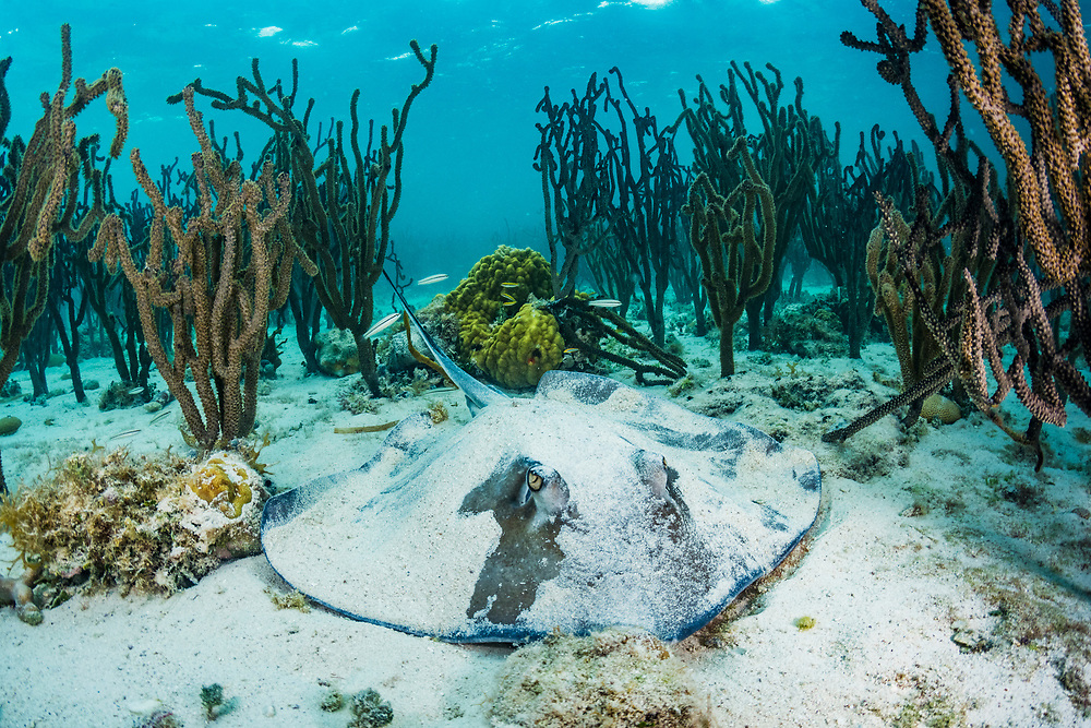 Southern stingray (Hypanus americanus) resting on the seabed sheltered by coral. Image made off Eleuthera, Bahamas.