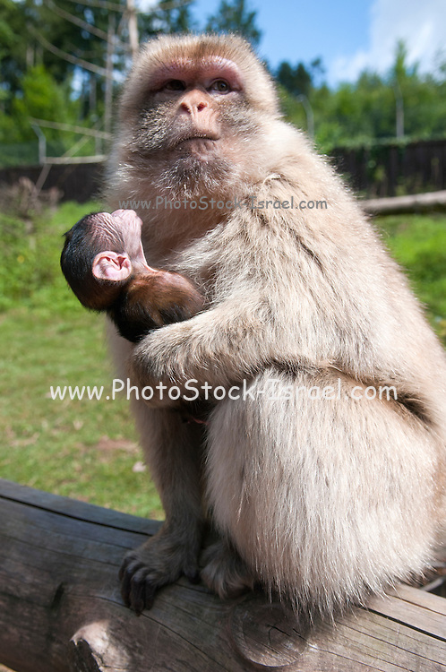 Female monkey with her young offspring