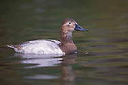 Canvasback - Aythya valisineria - Adult female