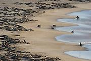 Cape fur seals at tideline (Arctocephalus pusillus pusillus) Tsau-ǁKhaeb-(Sperrgebiet)-Nationalpark, Namibia | Kap-Pelzrobbe (Arctocephalus pusillus pusillus), auch Südafrikanischer Seebär genannt in der Baker's Bay. Sperrgebiet National Park, Namibia