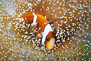 Barrier Reef Anemonefish (Amphiprion akindynos) in Mertens Carpet Sea Anemone (Stichodactyla mertensii) - Agincourt Reef, Great Barrier Reef, Queensland, Australia. <br /> <br /> Editions:- Open Edition Print / Stock Image