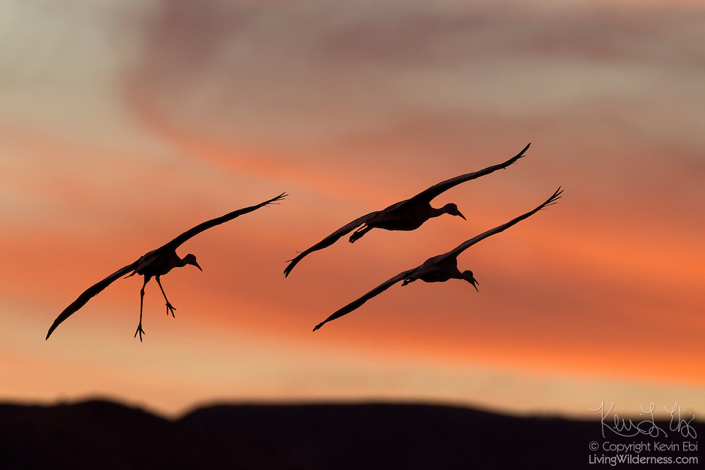 Three sandhill cranes (Grus canadensis) prepare to land after sunset on a pond at the Bosque del Apache National Wildlife Refuge in New Mexico.