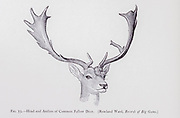Head and Antlers of a common fallow deer (Dama dama) from the book ' The deer of all lands : a history of the family Cervidae, living and extinct ' by Richard Lydekker, Published in London by Ward 1898