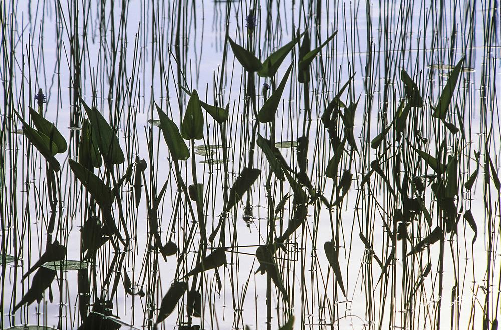 Pickerel weed (Pontederia cordata) in Elbow Lake, Wanup, Ontario, Canada