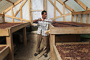 """Luciano Sho, 52, cacao grower from San Antonio, rakes drying cacao beans inside a drying shelter. Mr. Sho switched from rice farming in 2004 and joined the TCGA in 2005. He now has 17,000 cacao trees and is one of the organization's most successful members. """"Thanks to the TCGA and Fair Trade for providing us great benefits. I have 13 children and many have been granted Fair Trade scholarships. I am very proud to belong to the TCGA."""" Toledo Cacao Growers' Association (TCGA), San Antonio, Toledo, Belize. January 28, 2013."""