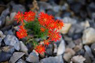 Desert Paintbrush, Castilleja angustifolia