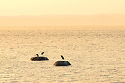 Great blue herons (Ardea herodias)  on rock in Gulf of St. Lawrence<br />