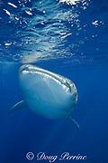 whale shark  ( Rhincodon typus ), Kona Coast, Hawaii Island ( the Big Island ), Hawaiian Islands, USA ( Central Pacific Ocean )